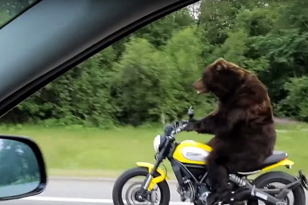 bear on ducati scrambler